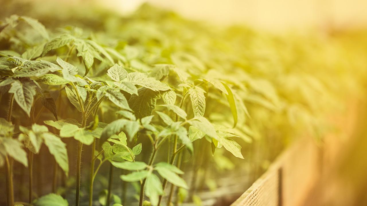 Como plantas podem resistir mais ao calor