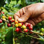 Safra de café pode enfrentar geada com chegada do frio ao Brasil