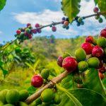 Tempo seco favorece a cultura de café no Brasil